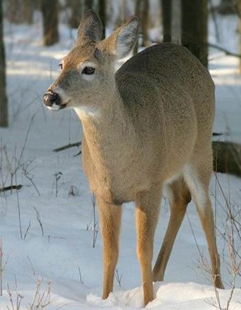 Daniel Harrison: Effectiveness of Zoning to Protect Deer Wintering Areas