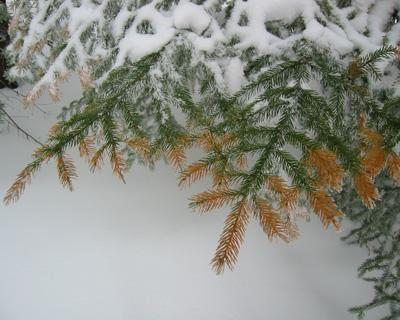 Gary Hawley: Winter Injury, Carbon Loss, but Surprising Growth Resurgence in Red Spruce