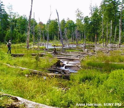 John Stella: Beaver Impacts on Adirondack Forest and Bird Communities
