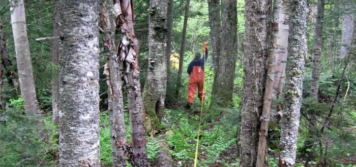 Researcher measures forest plot in Maine.